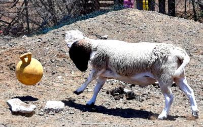 FIFA season with Chili Pepper the goat!